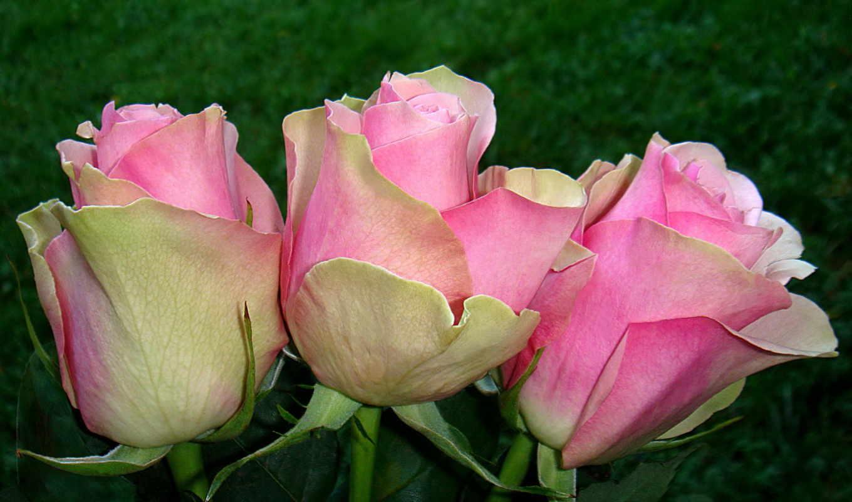 розы, цветы, розовый, гладиолусы,