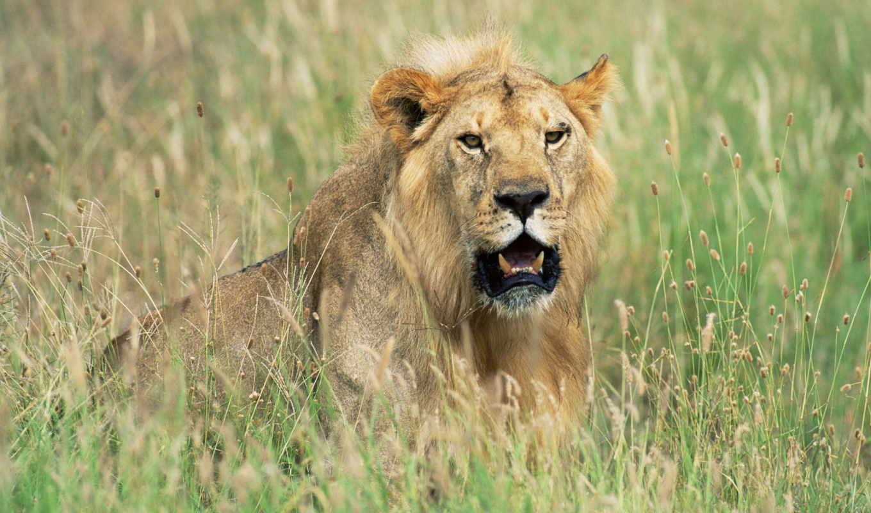 hunting, lion, lions, prey, images, ноутбук,