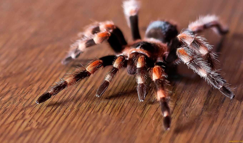 паук, птицеед, продам, паука, пауков, птицееда,