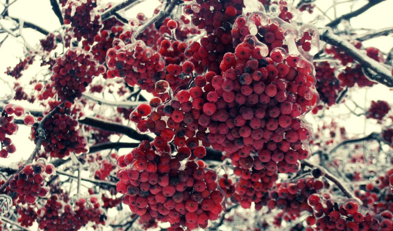 пепельный, winter, макро, природа, категория, совершенно, ягоды,