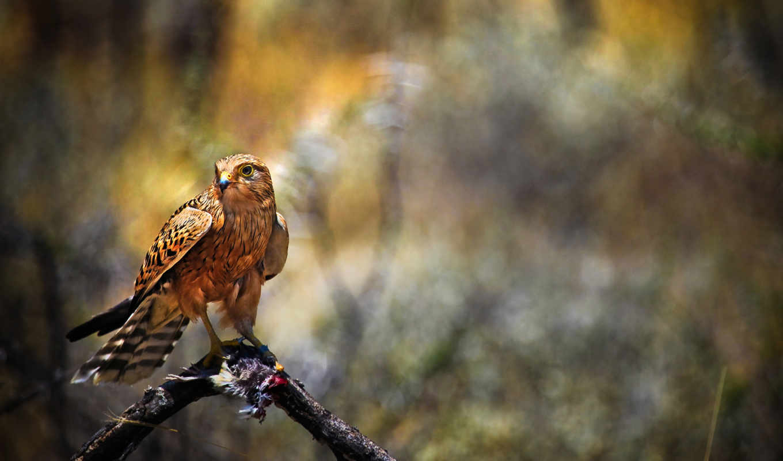 хищник, птица, hawk, falcon,