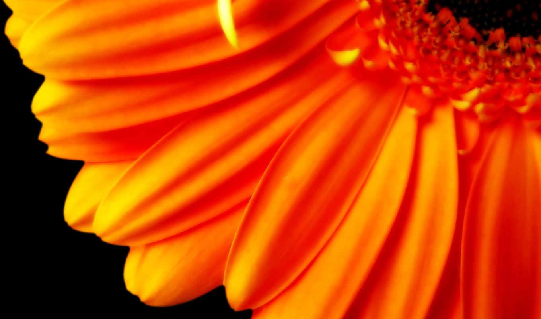 цветы, оранжевый, оранжевые, лепестки,