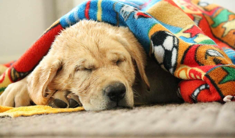 собака, dobrodushnyi, cute, хаски, тег, кастрация, human, serdechnaya, спать