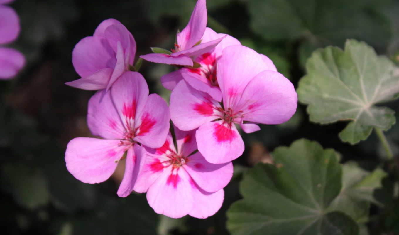 фиалки, цветы, макро, весна, природа, рисунки,