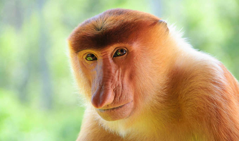носач, обезьяна, обезьян, вид, мартышковых, очень, кахау, rare, unusual,