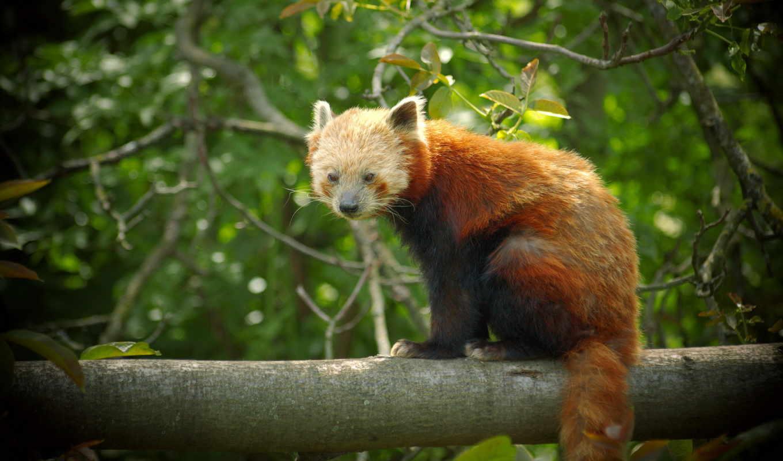 панда, рыжая, мартен, zhivotnye, animal, firefox, листва,
