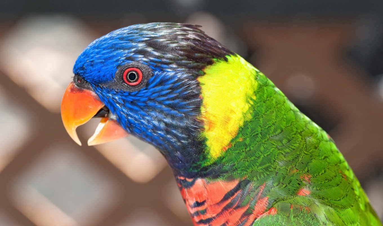 попугай, птица, красивый, красивые, дек, попугаи, яркий,