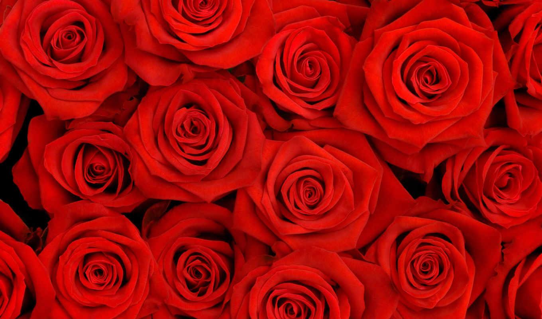 roses, роза, flowers, red, цветы,