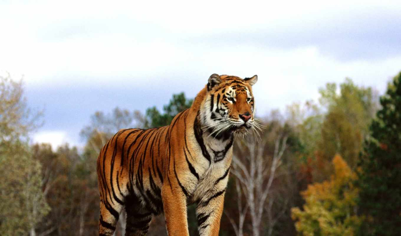 красивые, тигры, тигров, янв, красивых, очень, мурр, фотографий,