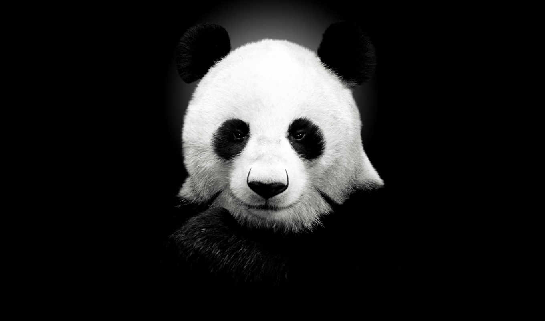 обои, панда, панды, panda, картинку, лица, бесплат