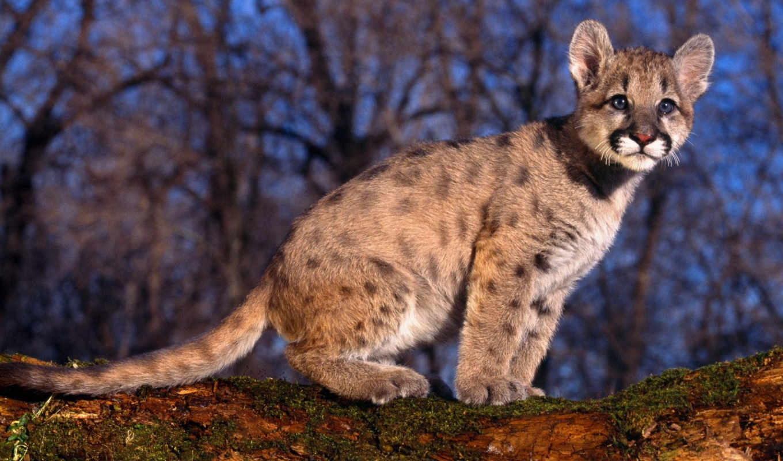 wildlife, cougar, baby, free, pictures, images, animals, lion, картинку, peligro, salvează, desktop, изображение, jaguar, dad,