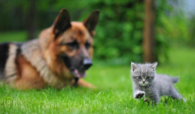 овчарка, котенок, немецкая, zhivotnye, трава, собака, обоях, добавлено,
