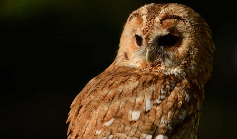 fone, черном, сова, птица, совы, разных, оперением, коричневым,
