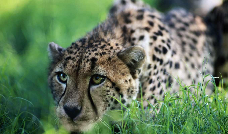 обои, гепард, гепарды, гепарда, фото, животные, за