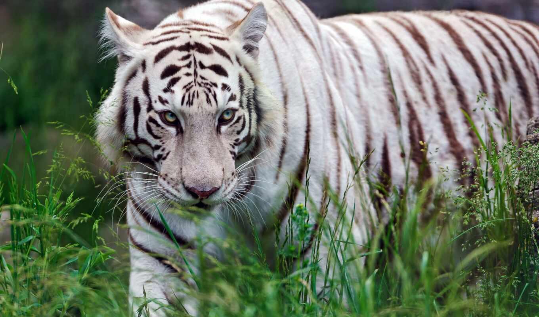 тигр, хищник, трава, белый, кошка, животные,