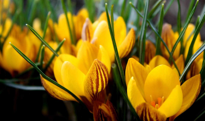 желтые, прелестные, цветочки, picsfab, цветки, стебельки, картинок, фабрика, tulips, yellow, roses, clipart, природа, картинка, flowers, цветы, изображение,