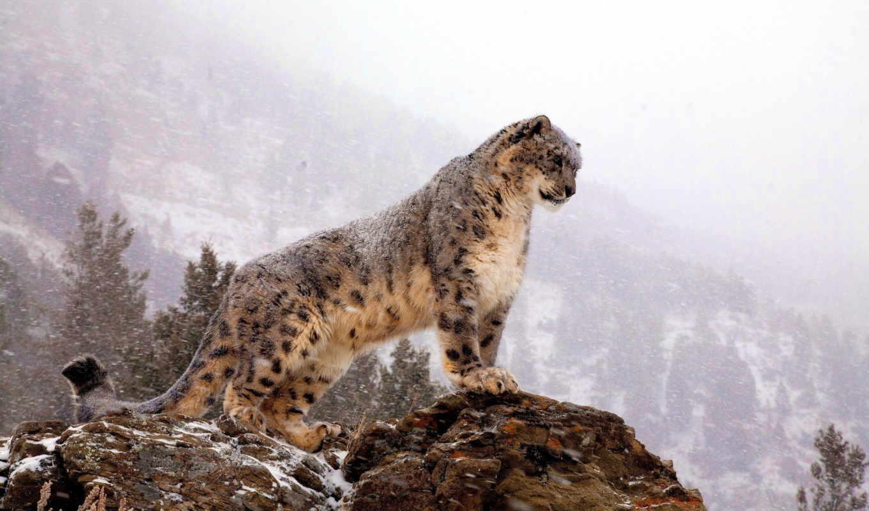 снег, panther, ирбис,