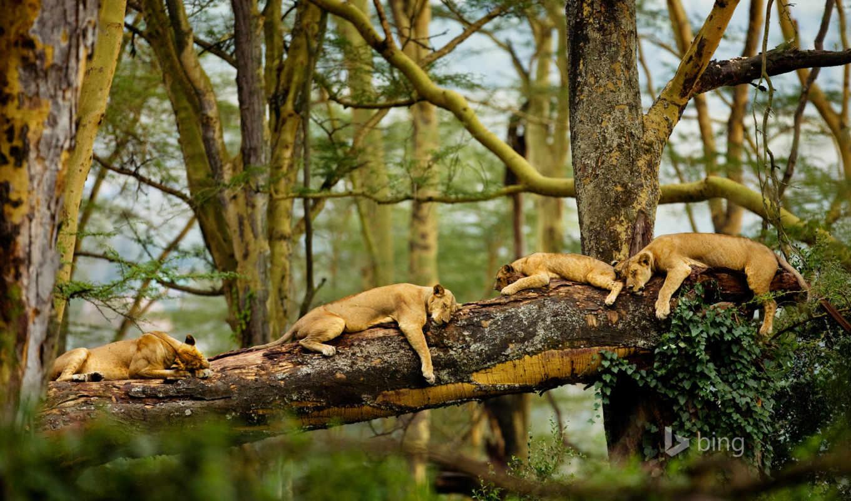 леопард, zhivotnye, спящие, страница, кот,
