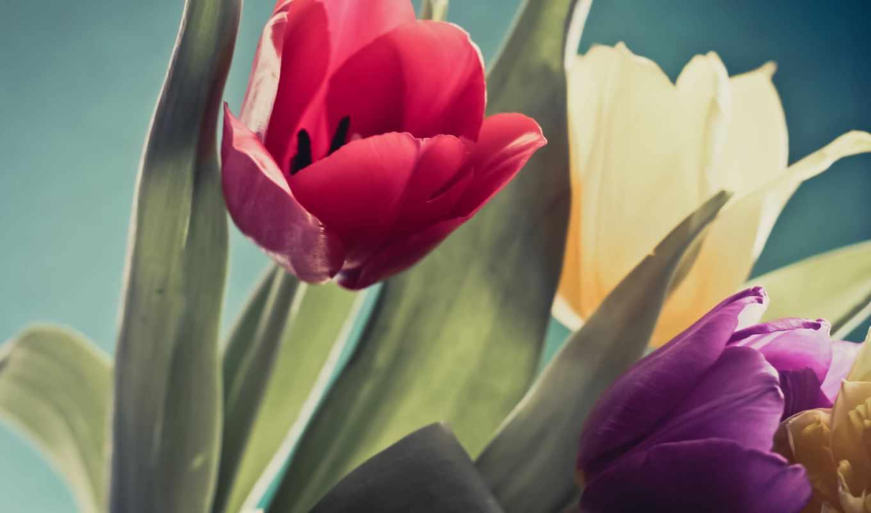 тюльпан, tulips, yellow, purple, flowers, red, images,