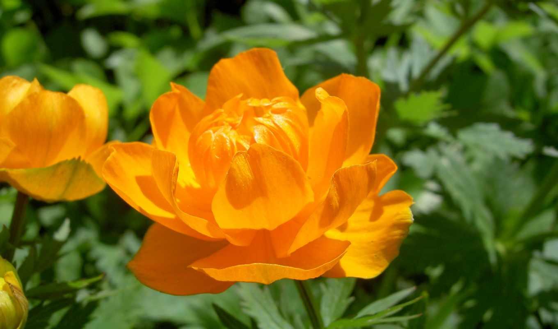 цветок, желтый, flowers, hd,