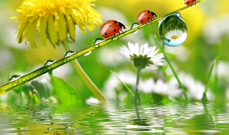 одуванчики, природа, капли, одуванчик, цветы,