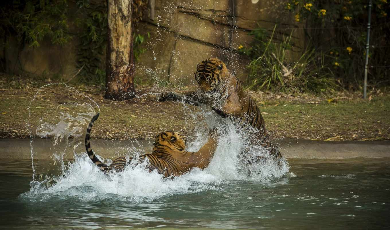 тигры, пара, кошки, дикие, тигрята, хищники,
