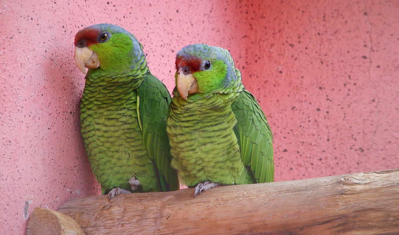 попугаи, обои, животные, птицы, фото, попугай, обо