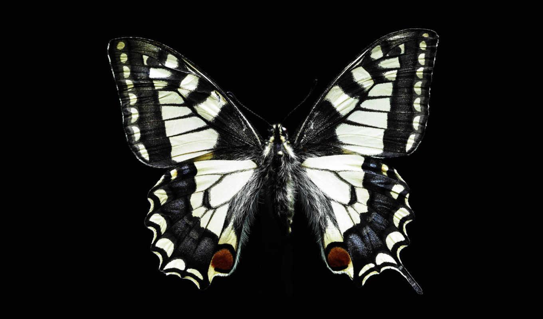 бабочка,черный,скачать