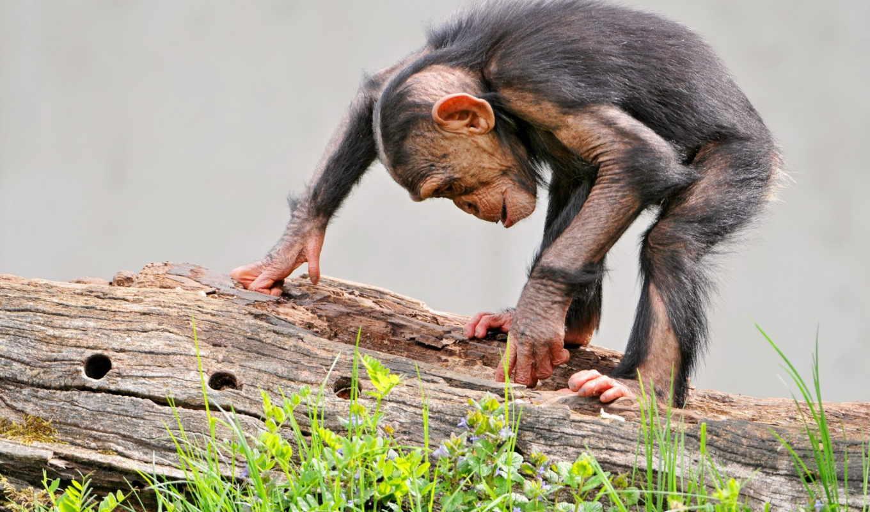 трава, log, морда, обезьяны, обезьяна, curiosity, кора, шимпанзе,