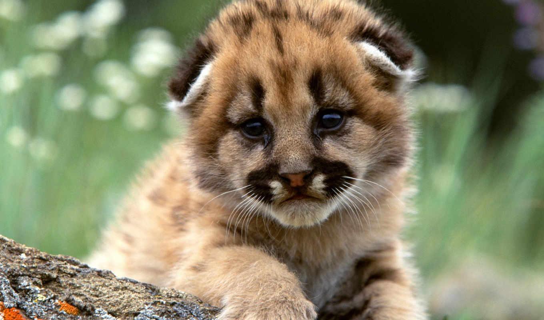 animals, mountain, , cute, lion, image, resimleri,