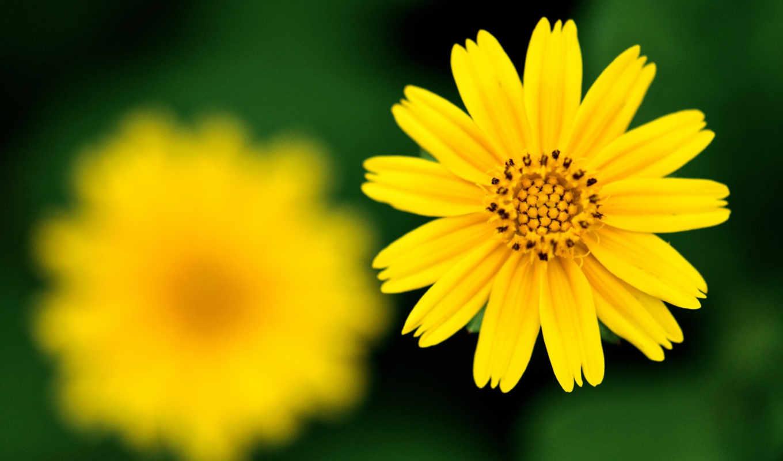 desktop, free, цветок, желтый, фокус, sharp, резкость,