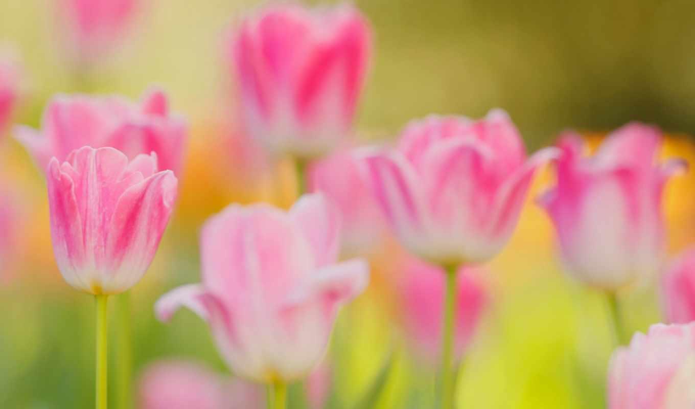 images, apk, tulips, розовый, утро, весна,