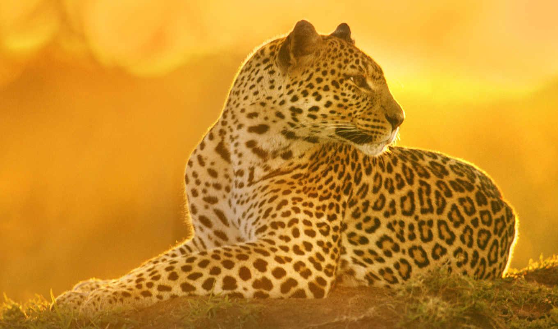 леопард, хищник, кошка, картинка, картинку, кнопкой, мыши, так, же, левой, кномку, картинками, понравившимися, поделиться, салатовую, кликните,