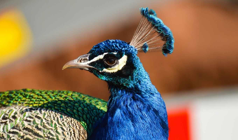crest, клюв, peacock, птица, profile, zhivotnye,