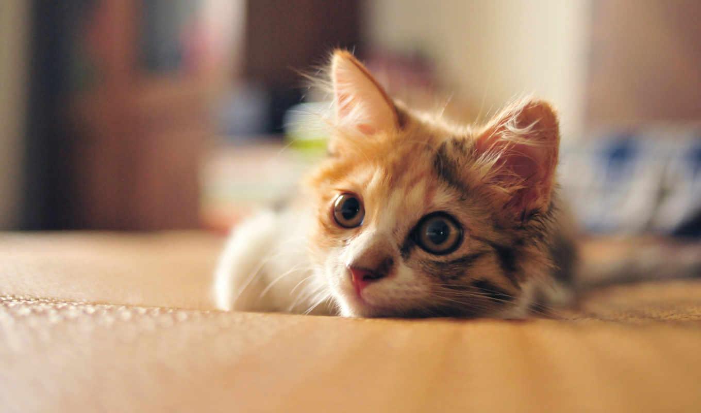 котенок, кот, смотреть, tricolor, кошки, нравится,