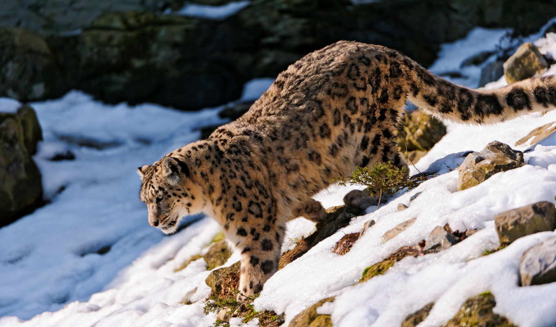 снег, леопард, ирбис, смотрит, лес, морда,