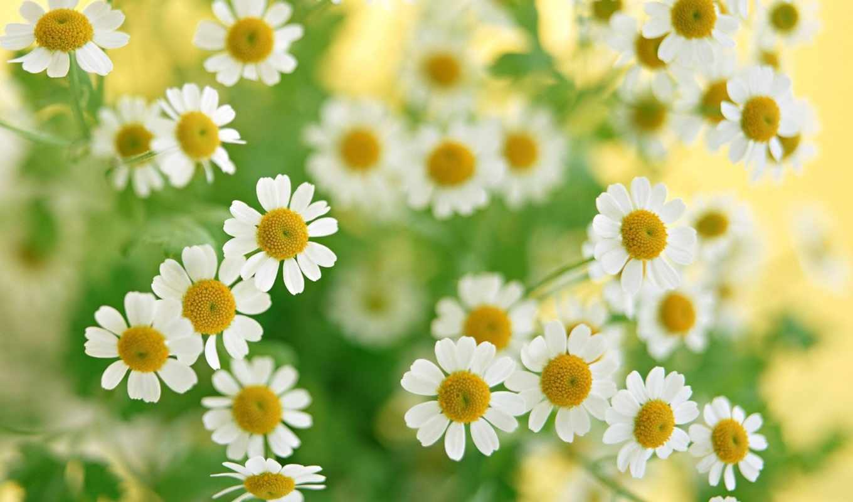ромашки, цветы, белые, букет, растения, макро, зелень, boots, весна,