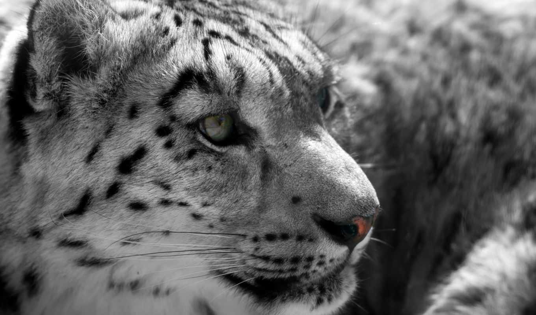 леопард, снег, zhivotnye,