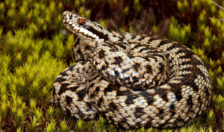photos, user, интересно, viper, snake, змей, flickr, обыкновенная, recent, brouard,