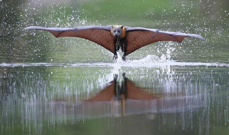 летучий, фокс, mouse, water, animals, animal, крыло