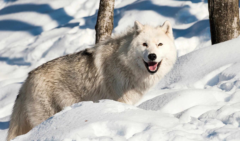 волк, winter,