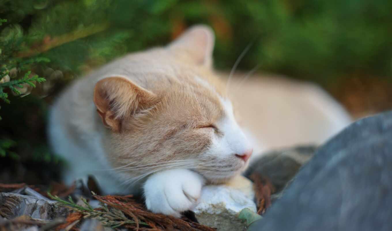 спать, кот, short, ложь, domestic, порода