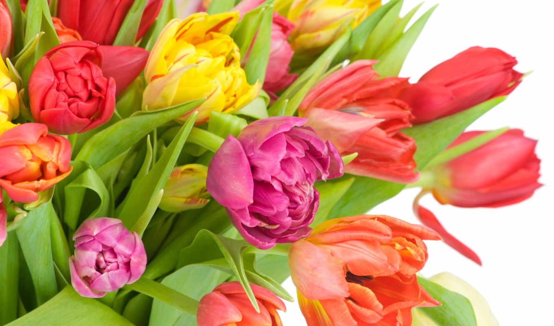цветы, разноцветные, тюльпаны,