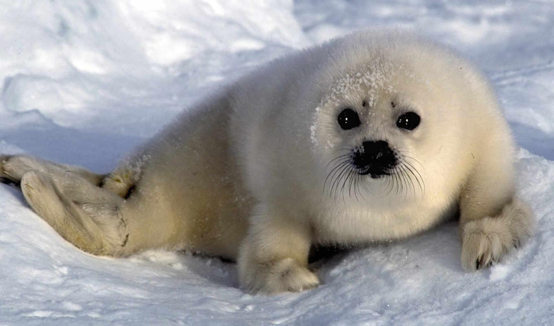 тюлень, белек, тюлени,