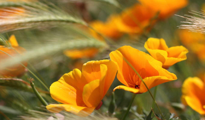 цветы, летние, оранжевые, колосья,