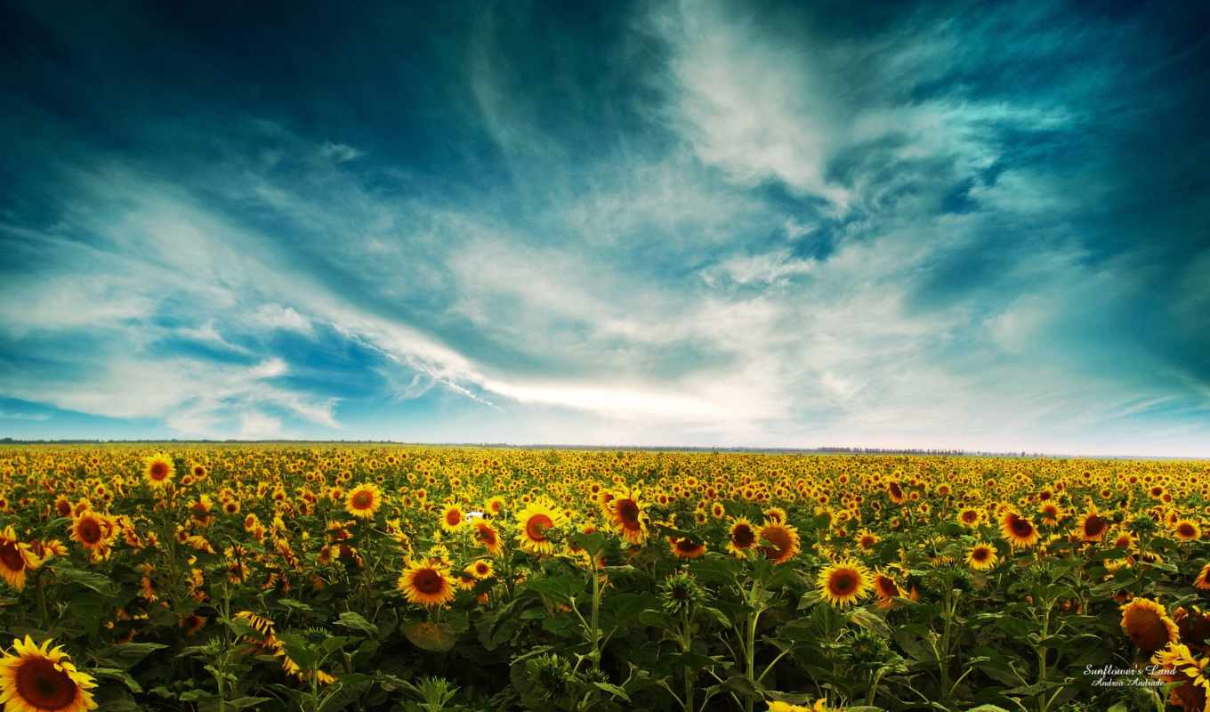 подсолнух, sunflowers, free, desktop, поля,