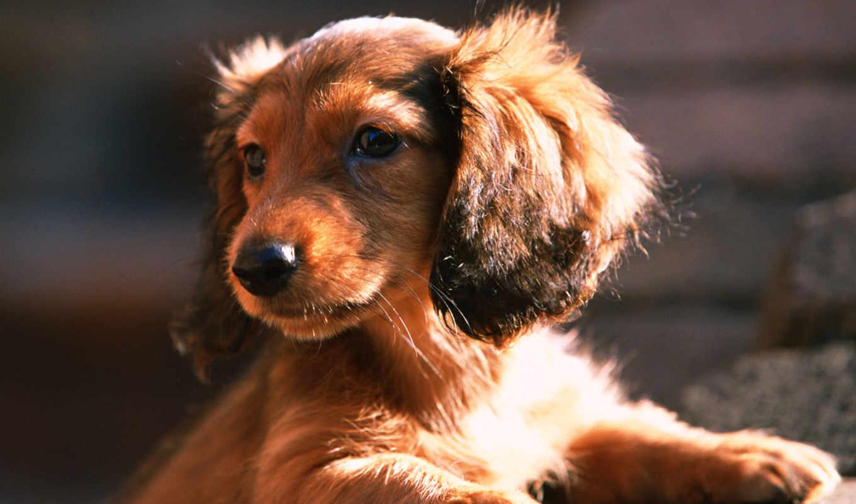 dachshund, собаки, собака, щенок, взгляд, морда, уши, sun,