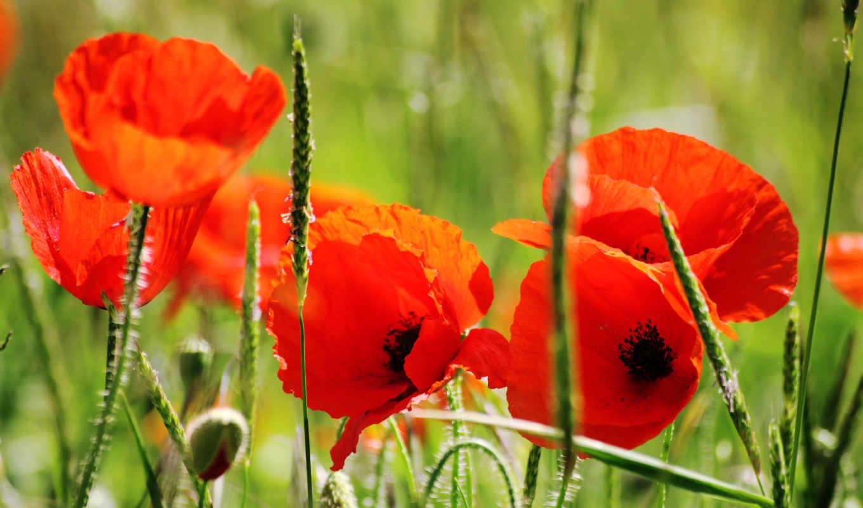 маки, цветы, лепестки, трава,