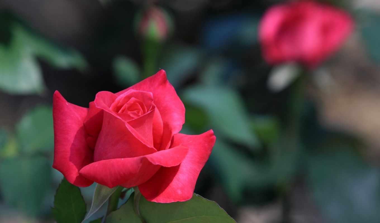 red, роза, natureza, природа, desktop,