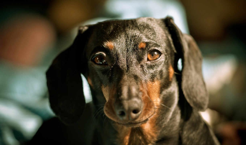 dachshund, собака, browse, морда,